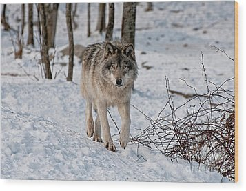 Timber Wolf In Snow Wood Print by Michael Cummings