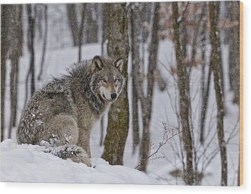 Wood Print featuring the photograph Timber Wolf In Winter by Michael Cummings