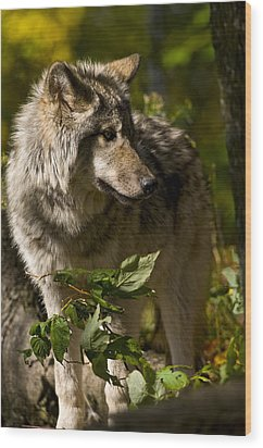 Wood Print featuring the photograph Timber Wolf by Michael Cummings