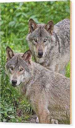 Timber Wolf Pair Wood Print by Michael Cummings