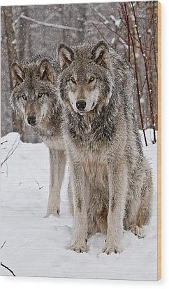 Timber Wolves In Winter Wood Print by Michael Cummings