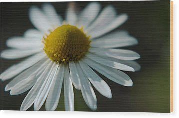 Wood Print featuring the photograph Tiny Daisy Wild Flower by Karen Musick
