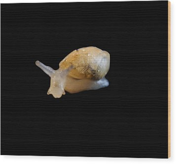 Wood Print featuring the photograph Tiny Snail by Maggy Marsh