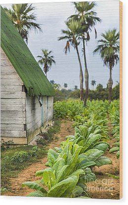Tobacco Plantation Wood Print