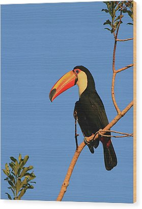 Toco Toucan Wood Print by Bruce J Robinson