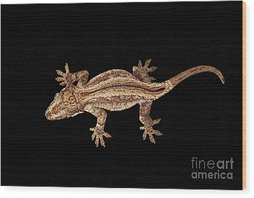 Top View Of Gargoyle Gecko, Rhacodactylus Auriculatus Staring Isolated On Black Background. Native T Wood Print