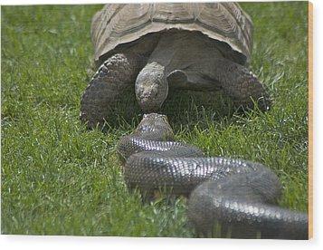 Tortoise Kissing An Anaconda Wood Print by Susan Heller