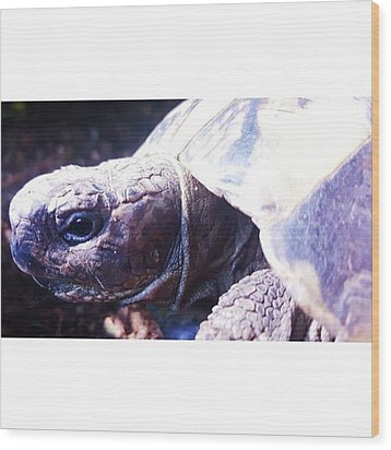#tortoise #torts #sunbathing #basking Wood Print by Natalie Anne