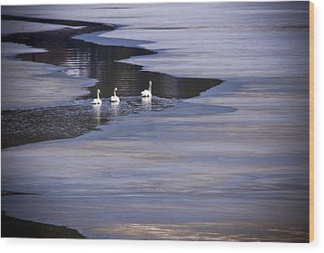 Tourist Swans Wood Print