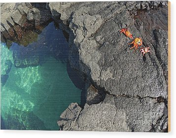 Transparent Waters And Volcanic Rocks With Sally Lightfoot Crabs Wood Print by Sami Sarkis