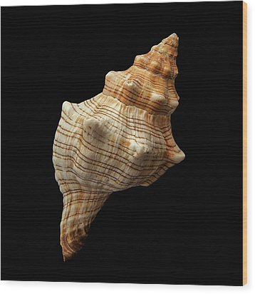 Wood Print featuring the photograph Trapezium Horse Conch Shell by Jim Hughes