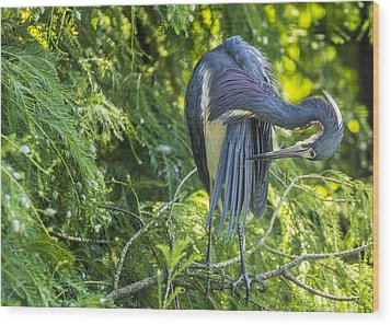 Wood Print featuring the photograph Tri-colored Heron Grooming by Paula Porterfield-Izzo