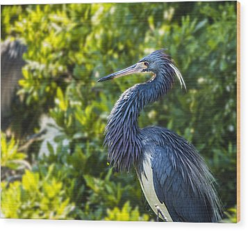 Wood Print featuring the photograph Tri-colored Heron Plumage by Paula Porterfield-Izzo