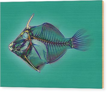 Triggerfish Skeleton, X-ray Wood Print by D. Roberts