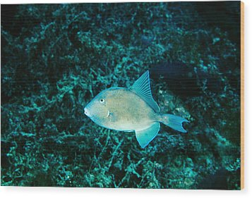 Triggerfish Swimming Over Coral Reef Wood Print by James Forte