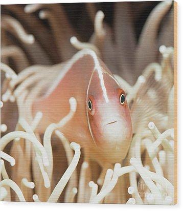 Tropical Fish Pink Clownfish Wood Print by MotHaiBaPhoto Prints