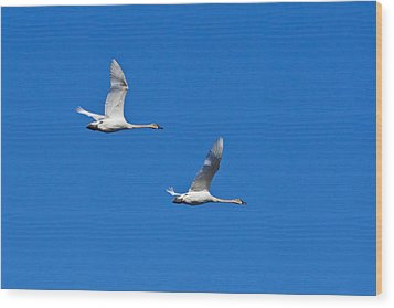 Wood Print featuring the photograph Trumpeter Swan 1727 by Michael Peychich