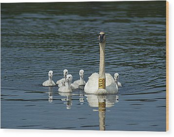 Trumpeter Swan With Cygnets Wood Print by Ron Read