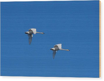 Wood Print featuring the photograph Trumpeter Swans 1725 by Michael Peychich
