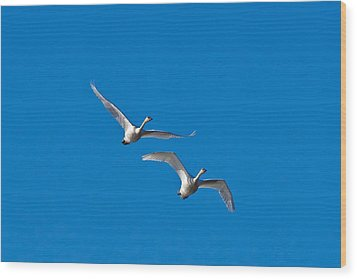 Wood Print featuring the photograph Trumpeter Swans 1735 by Michael Peychich