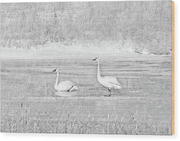 Wood Print featuring the photograph Trumpeter Swan's Winter Rest Gray by Jennie Marie Schell