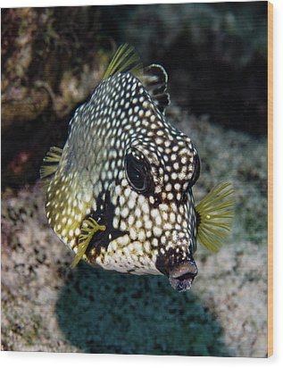 Wood Print featuring the photograph Trunkfish Portrait by Jean Noren