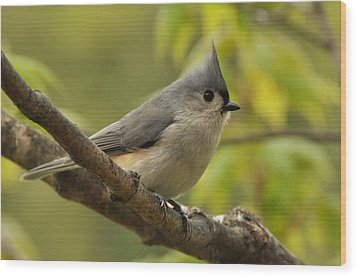 Tufted Titmouse In Sugar Maple Wood Print by Gerald Hiam