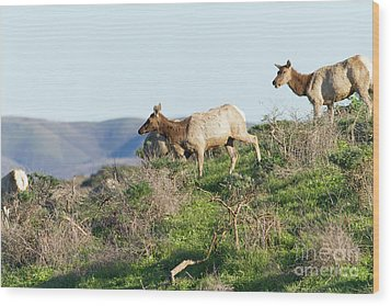 Wood Print featuring the photograph Tules Elks At Tomales Bay Point Reyes National Seashore California 5dimg9315 by Wingsdomain Art and Photography