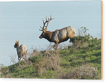 Wood Print featuring the photograph Tules Elks At Tomales Bay Point Reyes National Seashore California 5dimg9327 by Wingsdomain Art and Photography