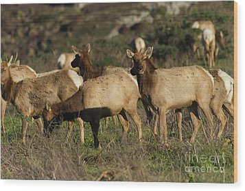 Wood Print featuring the photograph Tules Elks At Tomales Bay Point Reyes National Seashore California 5dimg9338 by Wingsdomain Art and Photography