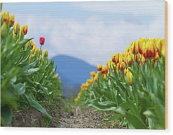 Tulip Farm Wood Print by Naman Imagery