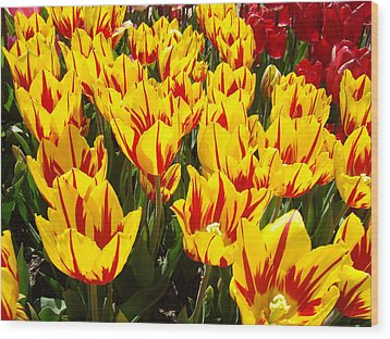Tulip Flowers Festival Yellow Red Art Prints Tulips Wood Print by Baslee Troutman