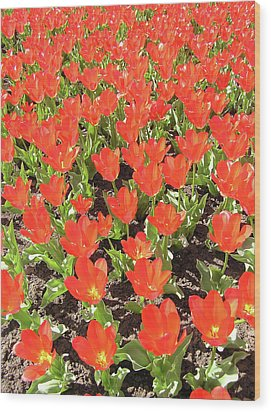 Tulip Garden Wood Print by Richard Mitchell