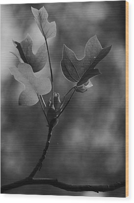 Tulip Tree Leaves In Spring Wood Print