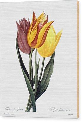 Tulip (tulipa Gesneriana) Wood Print by Granger
