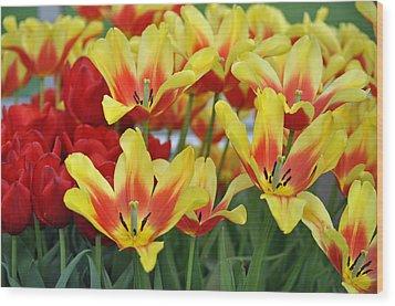 Tulips Glorious Tulip Monsella Wood Print by Debra  Miller