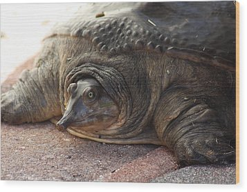 Wood Print featuring the photograph Turtle by Michael Albright