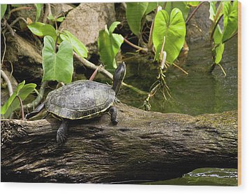 Turtle On Rock Wood Print