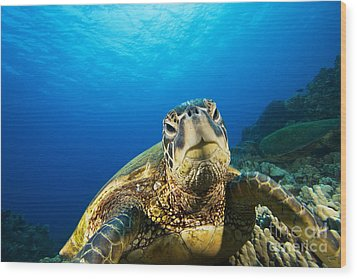 Turtle Stare Wood Print by Dave Fleetham - Printscapes