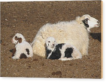 Twin Lambs Of The Gobi Wood Print