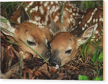 Twin Newborn Fawns Wood Print by Michael Dougherty