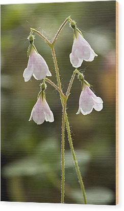 Twinflower (linnaea Borealis) Wood Print by Bob Gibbons
