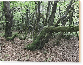 Wood Print featuring the photograph Twisted Trunks Of Beech Trees - Old Beech Forest by Michal Boubin