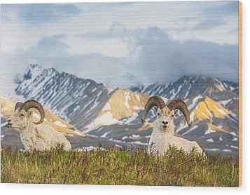 Two Adult Dall Sheep Rams Resting Wood Print by Michael Jones