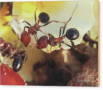 Two Ants In Sunny Day Wood Print