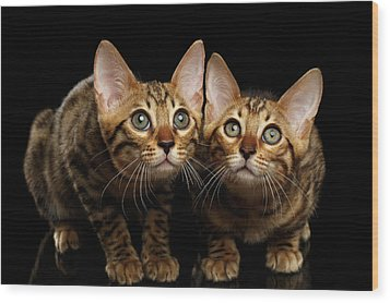 Two Bengal Kitty Looking In Camera On Black Wood Print by Sergey Taran