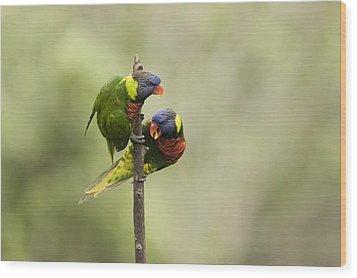 Two Captive Rainbow Lorikeets Wood Print by Tim Laman