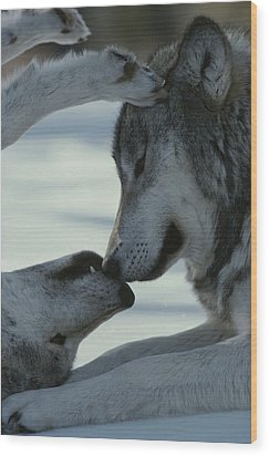 Two Gray Wolves, Canis Lupus, Touch Wood Print by Jim And Jamie Dutcher