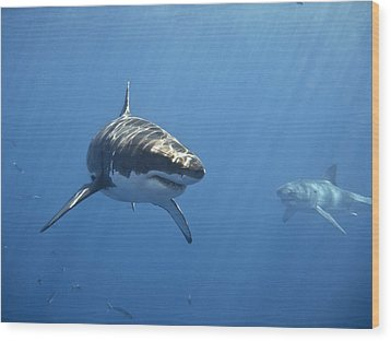 Two Great White Sharks Wood Print by Photo by George T Probst