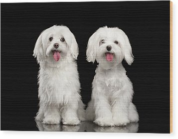 Two Happy White Maltese Dogs Sitting, Looking In Camera Isolated Wood Print by Sergey Taran